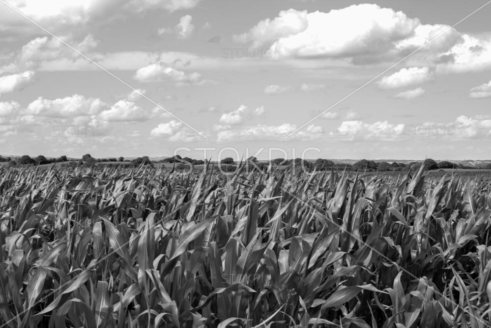 B&W Corn Field With Dramatic Sky