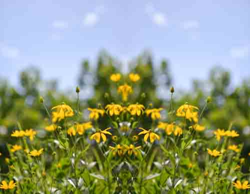 Wild Yellow Flowers And Green Leaves And Blue Sky