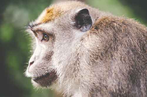 Close Up Of Wild Monkey Profile