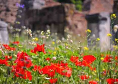 Wild Poppies and Flowers In A Field