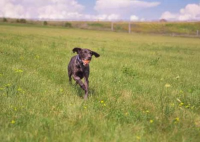 Dog Running in filed With Ball