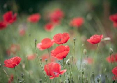 Red Poppies In A Wild Meadow